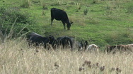 Group cows Stock Footage