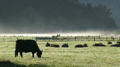 Cows in the morning, New-Zealand Stock Footage