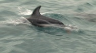 Stock Video Footage of Dusky dolphins