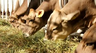 Stock Video Footage of Cattle breeding