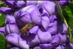 Bee On Purple Mountain Laurel NTSC Stock Footage