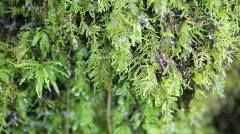 Closeup of Water & Raindrops Dripping from Moss in Lush Forest, Oregon Stock Footage