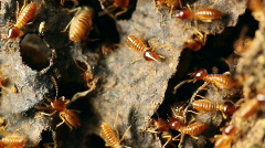 Nasute termites defending  their nest from an attack Stock Footage