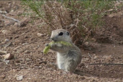 Ground Squirrel Devours Plant NTSC Stock Footage