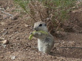 Stock Video Footage of Ground Squirrel Devours Plant NTSC
