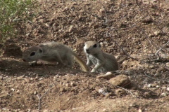 Ground Squirrel Kissin' Cousins NTSC Stock Footage