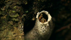 Amazonian sweat bees at entrance of nest Stock Footage