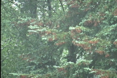Rain on firs and oaks  Stock Footage