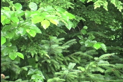 Rain on fir and cherry leaves Stock Footage