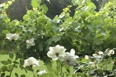 Rain on roses and grape vines Stock Footage