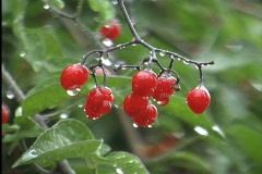 Raindrops on red berries Stock Footage