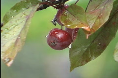 Raindrops on red fruit Stock Footage