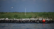 Stock Video Footage of Brown Pelicans nesting on oiled Pelican Island after Gulf BP oil spill_06
