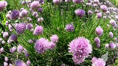 Bumble-Bees & Allium3711 Stock Footage