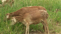 Malawi: african sheeps in a pasture 3 Stock Footage