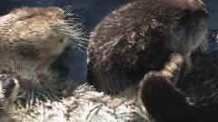 sea otters - stock footage