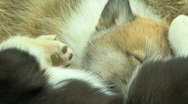 Puppies of Arctic Stock Footage