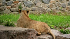Lioness Stock Footage