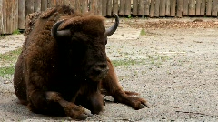 European bison (Bison bonasus) Stock Footage