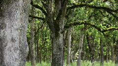 Oak Trees Stock Footage