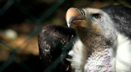 Vulture Stock Footage