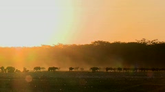 Cape buffalo migrate across the dusty plains of Africa. Stock Footage