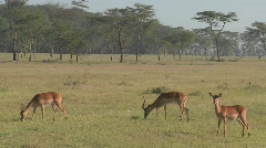 African antelope graze on the plains. Stock Footage