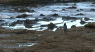 Stock Video Footage of Yellow-eyed Penguin