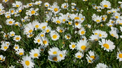 Ox eye daisies blowing in the wind Stock Footage