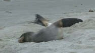 Stock Video Footage of Seals, New-Zealand