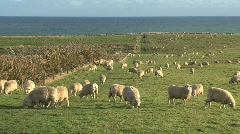 Sheeps - stock footage