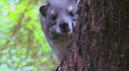 An African hyrax peers out of a tree. Stock Footage