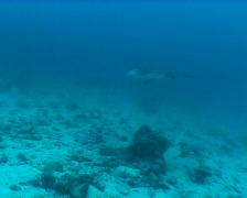 eagl ray underwater video Galapagos Pacific ocean Stock Footage
