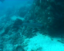 Shark underwater video Galapagos Pacific ocean Stock Footage