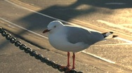 Gull Stock Footage