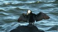 Bird on waterfront Tasmania Stock Footage