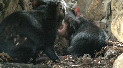 Tasmanian Devil with sound Stock Footage