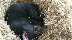 Tasmanian Devil Stock Footage