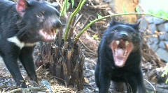 Tasmanian Devil Stock Footage