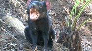 Stock Video Footage of Tasmanian Devil