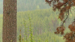 The environment, mountain pine beetle killed trees, #5 entire forest Stock Footage