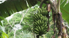 Banana plant in the rainforest Stock Footage