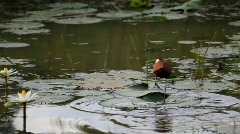 Bird walking on lilly pads Stock Footage