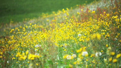 Field of flowers moving in the wind Stock Footage