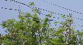 Black Crows on Tree Footage