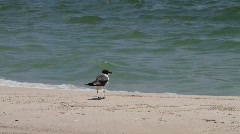 Tern on the beach, Gulf of Mexico - stock footage