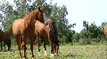 Horse grazing. Head shake.  Footage