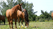 Stock Video Footage of Horse grazing. Head shake.