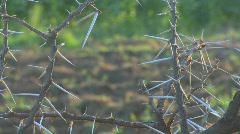 Close up of the spiky branches of an African thorny bush. Stock Footage
