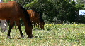 Horse grazing. Footage